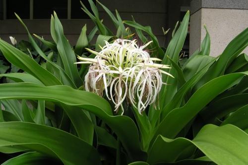 Chữa bệnh viêm nhiễm phụ khoa bằng cây trinh nữ hoàng cung an toàn hiệu quả